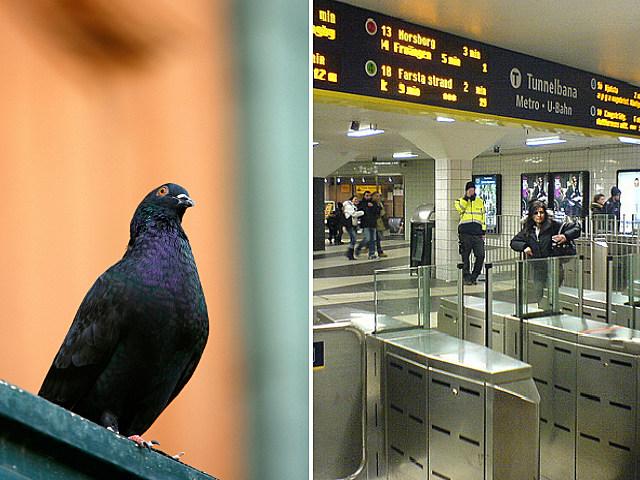 Stockholm Subway Pigeon