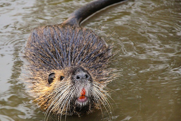 5 Secretly Badass Animals Nutria