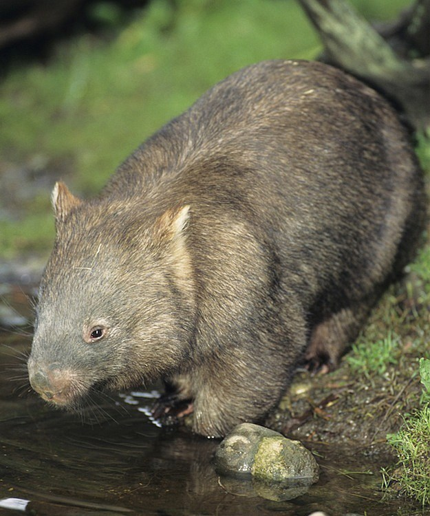 5 Secretly Badass Animals Wombat