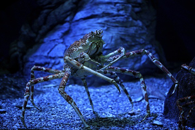 5 Secretly Badass Animals Japanese Spider Crab