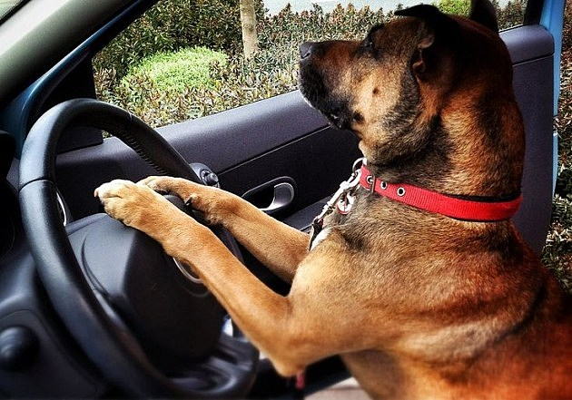 dog drives car